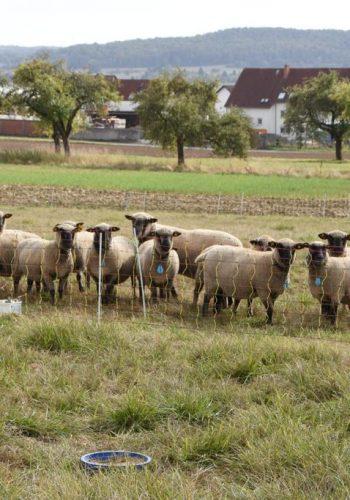 Shropshire Schafe